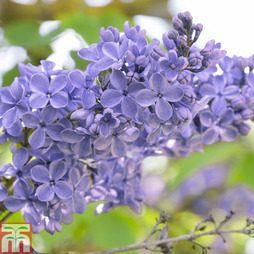 Lilac 'President Grevy'