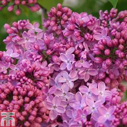 Lilac 'Prince Wolkonsky'