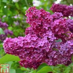 Lilac 'Souvenir de Louis Spaeth'