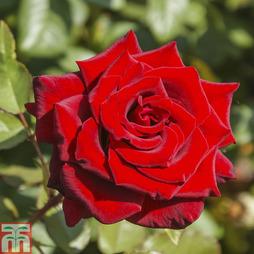 Rose 'Love Knot' (Climbing Rose)