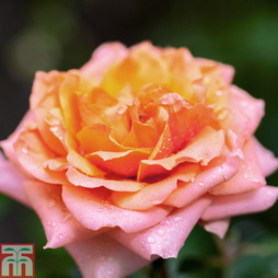 Rose 'Nice Day' (Climbing Rose)
