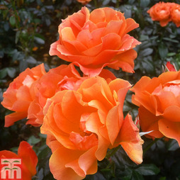 Rose 'Warm Welcome' (Climbing Rose)