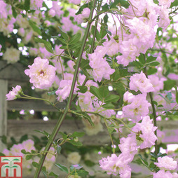 Rose banksiae 'Rosea' (Climbing Rose)