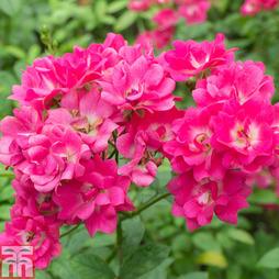 Rose 'Berkshire' (Groundcover Rose)