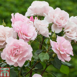 Rose 'Cheshire' (Groundcover Rose)