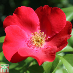 Rose 'Hampshire' (Groundcover Rose)