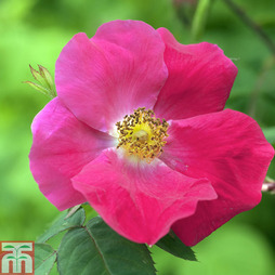 Rose 'Hertfordshire' (Groundcover Rose)