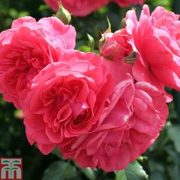 Rose 'Lancashire' (Groundcover Rose)