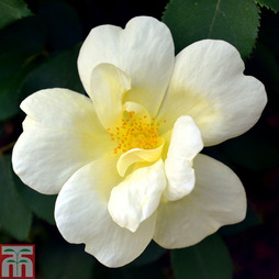 Rose 'Worcestershire' (Groundcover Rose)