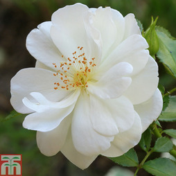 Rose 'Yorkshire' (Groundcover Rose)