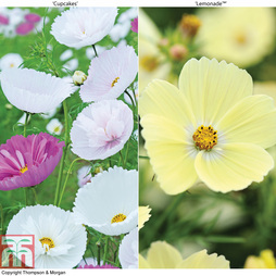 Cosmos bipinnatus 'Cupcakes' and 'Lemonade™' Duo (Garden Ready)