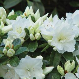 Azalea 'Dwarf White'