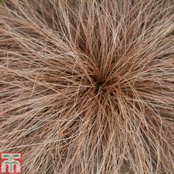 Carex comans 'Bronze Perfection'