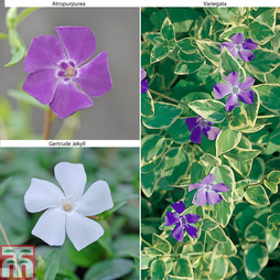 Vinca 'Collection'