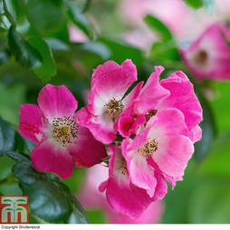 Rose 'American Pillar' (Rambling Rose)