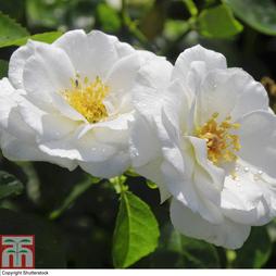 Rose 'Seagull' (Rambling Rose)