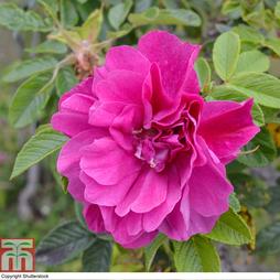 Rose 'Roseraie de l'Hay' (Shrub Rose)