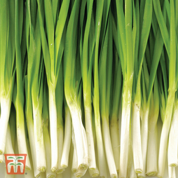 Spring Onion 'Feast' F1 Hybrid