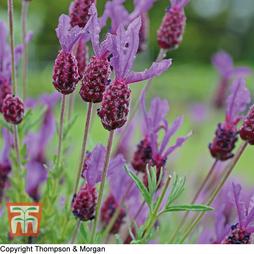 Lavender (French)