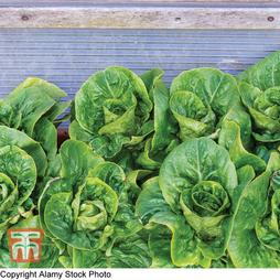 Lettuce 'Winter Gem' (Cos)