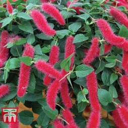 Acalypha 'Mini Red'