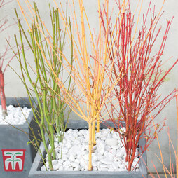 Acer Vibrant Winter Stem Collection