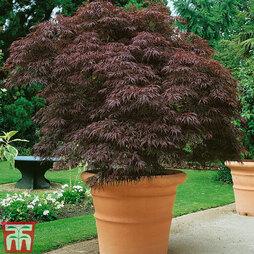 Acer palmatum 'Garnet' Bare Root