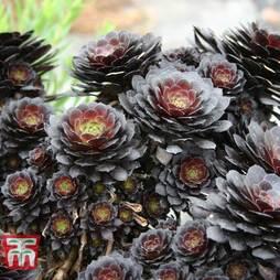 Aeonium arboreum 'Tip Top'