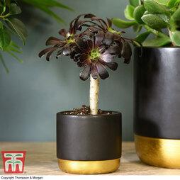 Aeonium arboreum 'Atropurpureum' (House plant)