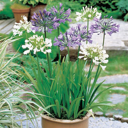 Agapanthus Blue & White Collection