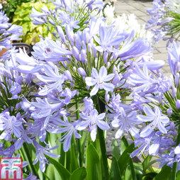 Agapanthus 'Blue Prince'