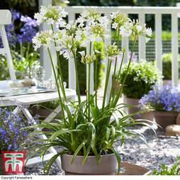 Agapanthus 'Ever White'