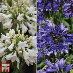 Agapanthus 'Ever' Duo