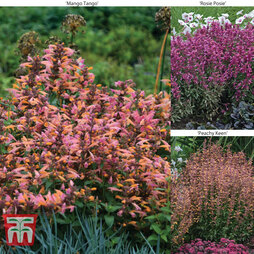 Agastache 'Hybrids Collection'