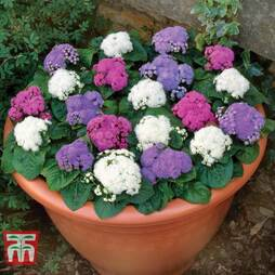Ageratum 'Champion Mixed'