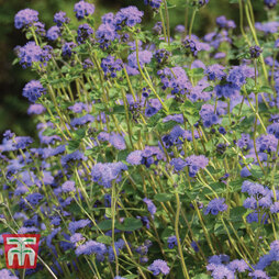 Ageratum 'Everest Blue'