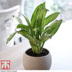 Aglaonema 'Christina' (House Plant)