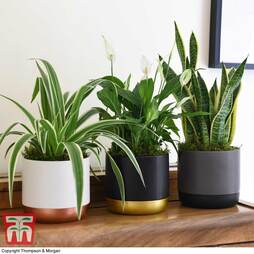 Air Purifying Houseplant Collection (House Plant)