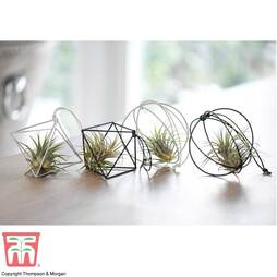 Airplant Bauble - Gift