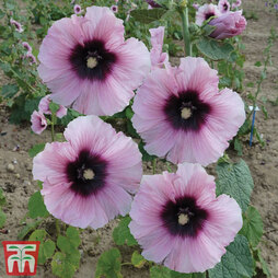 Hollyhock 'Halo Candy'