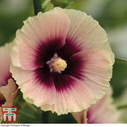 Hollyhock 'Halo Apricot'