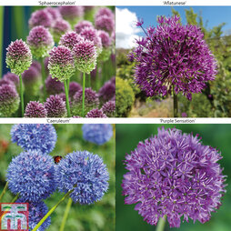 Allium Collection Various Bulb Mixes