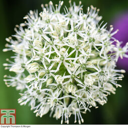 Allium stipitatum 'Mount Everest'