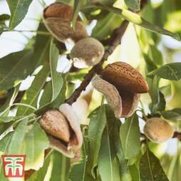 Almond 'Robijn'