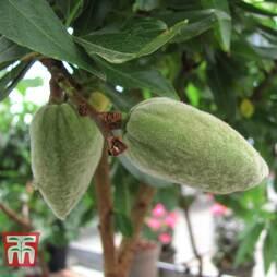 Nut Me® 'Almond Me' (Mini Patio Tree)