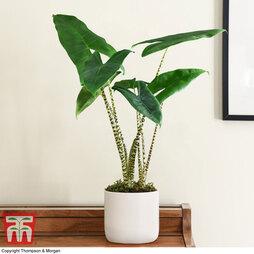 Alocasia zebrina (House Plant)