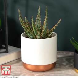 Aloe zebrina 'Danyz' (House plant)