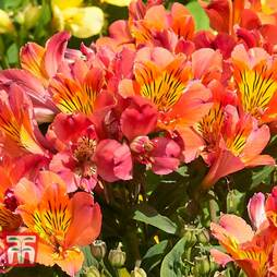 Alstroemeria 'Holiday Valley' (Summer Paradise Series)