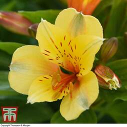 Alstroemeria 'Spring Valley' (Summer Paradise Series)