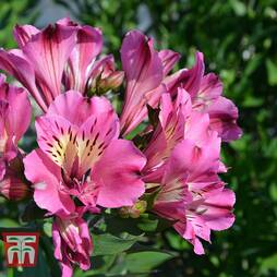 Alstroemeria 'Summer Saint' Bare Root